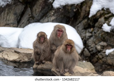 A trio of Japanese macaques sit by a hot spring