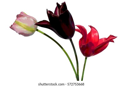 Trio of Tulips isolated on white background digital artwork