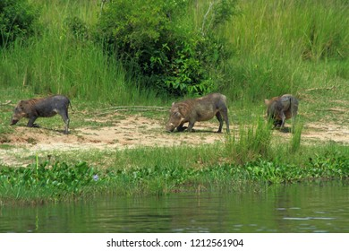 A trio of Warthogs kneel to graze along the Nile river in Murchison Falls National Park, Uganda.