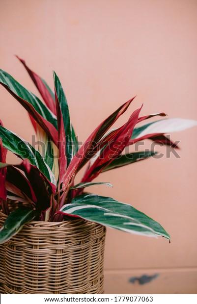 Trio-star plant leaf close up