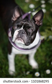 Trip with Boston Terrier to the Park in Spring on foot and bicycle