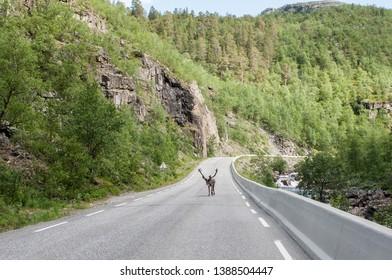 Trip to Nordkapp reindeer on the road