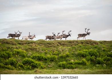 trip to nordkapp reindeers on a hillside