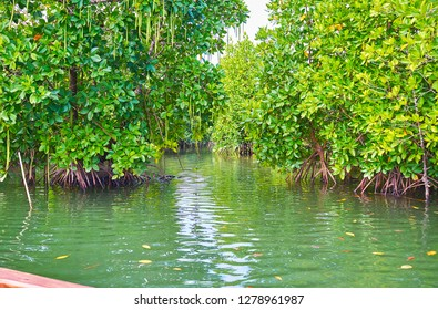 The trip to the red mangroves is the nice chance to watch the unique system of the prop roots of these plants, their interesting viviparous seeds and lush tree crown, Kangy river, Chaung Tha, Myanmar.