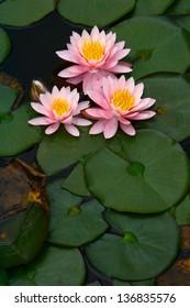 Triple Flower Water Lily