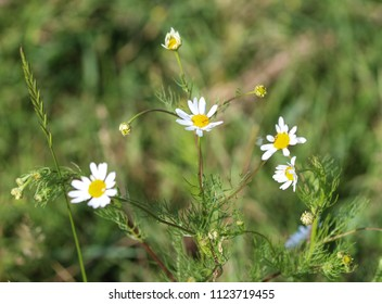 Tripleurospermum inodorum, common names scentless false mayweed, scentless mayweed, scentless chamomile, wild chamomile, mayweed, false chamomile, and Baldr's brow, blooming in forest