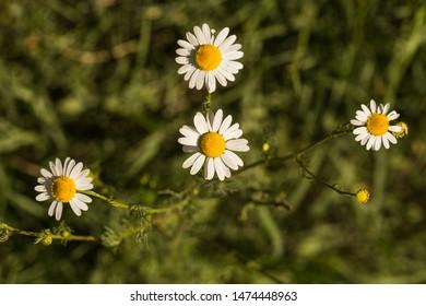 Tripleurospermum inodorum, wild chamomile, mayweed, false chamomile, and Baldr's brow, is the type species of Tripleurospermum.