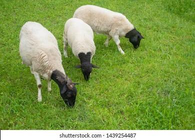 trisome sheep with black heads feeding on a meadow, three sheep