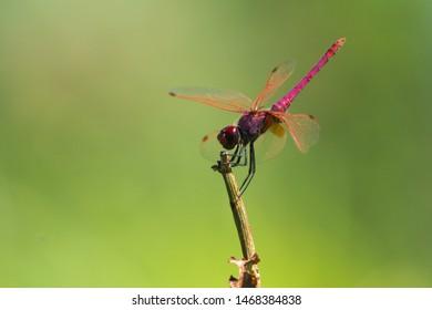 Trithemis annulata, purple dragonfly, pink dragonfly