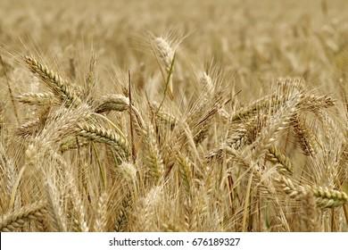 Triticale and corn
