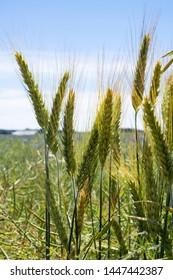 Triticale crop in the field