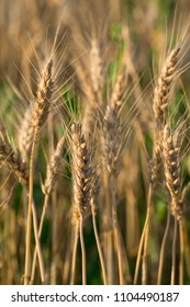 Triticale: The evolution of wheat