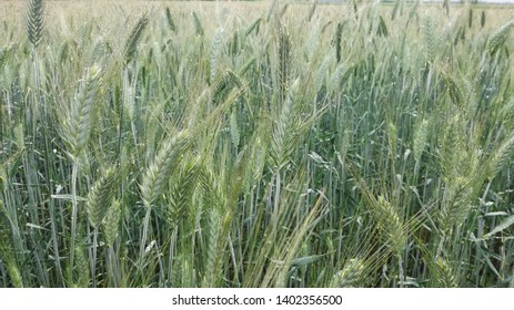 Triticale field after rain in the middle part of Hungary