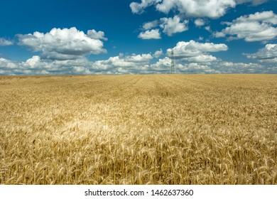 Triticale field and white clouds on a blue sky