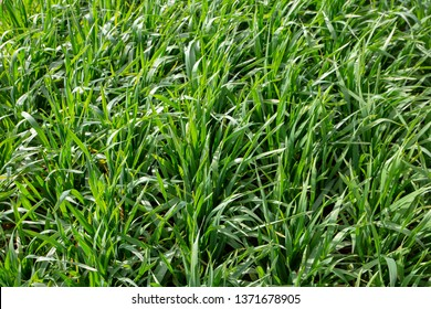 Triticale is a highly versatile forage for grazing, silage, balage, and boot-stage hay. Triticale is a cross between wheat and rye. It is excellent forage for dairy cows at the boot-stage and for beef