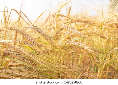 Triticale is a hybrid of wheat and rye. Harvest and agriculture. Barley growing in the field in a sunny day. Golden wheat close up. Rural meadow close up nature photo.