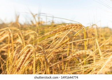 Triticale is a hybrid of wheat and rye. Harvest and agriculture. Barley growing in the field in a sunny day. Golden wheat close up. Rural meadow close up nature photo.- Blurred image.