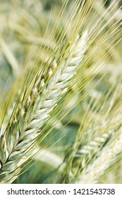 Triticale hybride cereal close up