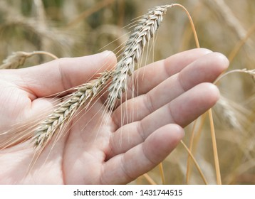 Triticale hybride cereal and male hand