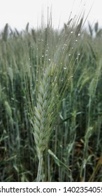 Triticale spikes after rain in middle Hungary
