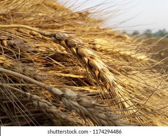 Triticale (× Triticosecale), /trɪtɪˈkeɪliː/ is a hybrid of wheat (Triticum) and rye (Secale) first bred in laboratories during the late 19th century in Scotlandhttps://en.wikipedia.org/wiki/Triticale