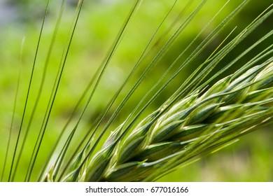 Triticale (Triticosecale), is a hybrid of wheat (Triticum) and rye (Secale)