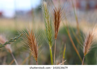 Triticales that is hybrid of wheat and rye