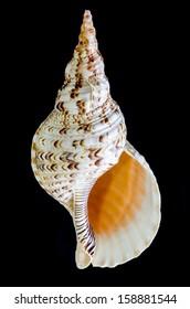 Triton trumpet or Charonia tritonis seashell isolated on black background