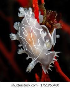 Tritonia festiva nudibranch on red gorgonian
