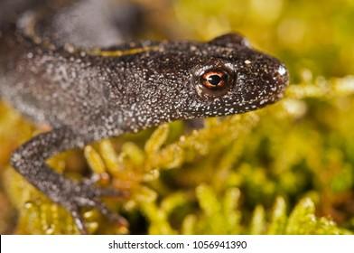Triturus carnifex (Italian crested newt)
