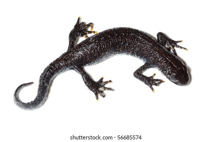 Triturus cristatus, Great Crested Newt in studio against a white background.
