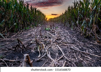 trodden path in the cornfield, dusk and sunset