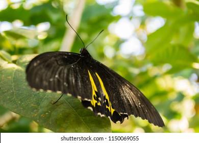 Sưu tập Bộ cánh vẩy 2 - Page 71 Troides-oblongomaculatus-sitting-on-leaf-260nw-1150069055