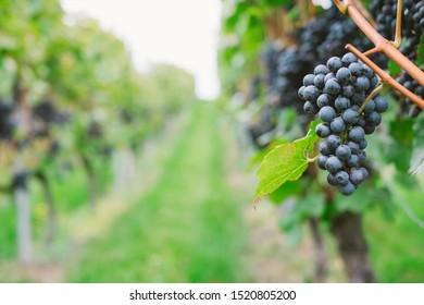 Trollinger red wine grape clusters ripen on leafy vines in German Baden-Württemberg winery with vineyard hillside in background