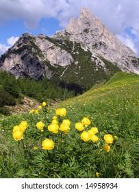 Trollius europaeus in Pass Giau Dolomiti Mountains - Italy Europe