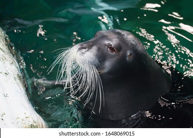 TROMSO, NORWAY - July 28 2012: Close-up seal in the aqua aquarium of Polaria in the city of Tromso in Northern Norway