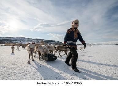 TROMSO, NORWAY - MARCH 12, 2018: Unidentified Sami man feeds arctic reindeers in winter, Tromso region, Northern Norway.