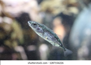 TROMSO, TROMS COUNTY / NORWAY - JANUARY 12 2019: The threespine stickleback - Gasterosteus aculeatus in the Polaria aquarium at city of Tromsø