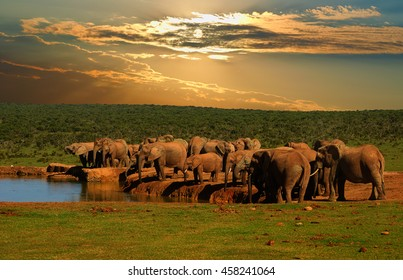 Troop, herd of elephant, Loxodonta africana, drinking at the water hole in late afternoon in Addo Elephant National Park