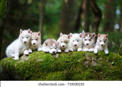Troop of husky puppies in a forest