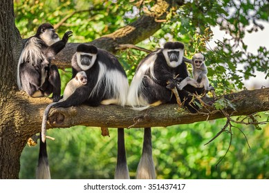 royalty free colobus images stock photos vectors shutterstock