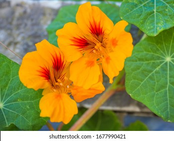 Tropaeolum majus Blumen und Blattwerk, Nahaufnahme. Garden Nasturtium mit scheibenförmigen Blättern und hellen orangefarbenen Blüten. Indische Kresse oder Mönchskresse ist eine Blütenpflanze aus der Familie der Tropaeolaceae.