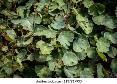 Tropaeolum tuberosum mashua is a species of flowering plant in the family Tropaeolaceae