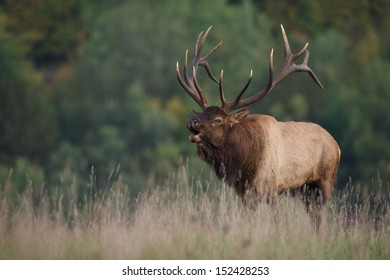 Trophy Bull Elk in western Pennsylvania bugling during the September / October rut / mating season Cervus canadensis  Pennsylvania big game elk deer bow archery hunting season