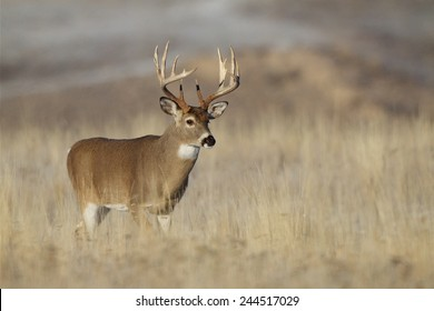 Trophy Class Whitetail Buck with very tall 10 point antlers free range deer hunting in midwestern states Ohio Illinois Indiana Michigan Wisconsin Minnesota Missouri Kansas Nebraska North South Dakota