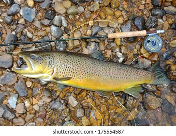 Trophy fish, rod and reel - a huge record sized Salmon related fish (salmonid) Brown Trout fish next to a fly rod prior to release