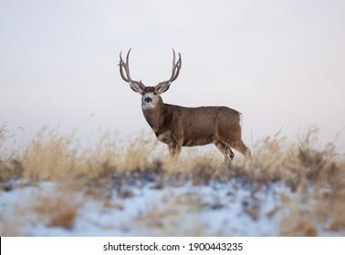 Trophy mule deer standing in a field
