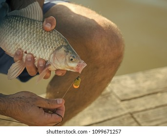 Trophy, success achievement Freshwater fish hooked on mouth in male hands, bait fishing. Carp, crucian carp, trout on fishhook, angling. Bait, bait fishing, fish catching.