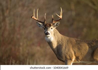 Trophy Whitetail buck in morning sunlight