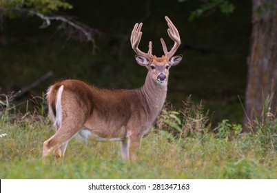 Trophy whitetail deer buck standing in a northern Wisconsin field with deep forest behind.